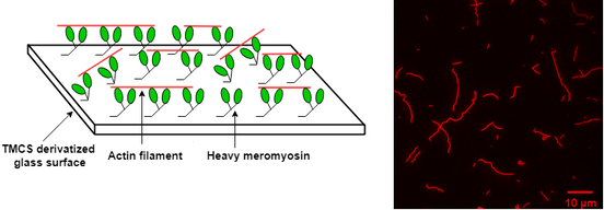Illustration of motility assays with actin and heavy meromyosin; Rahman, PhD thesis, 2019