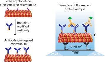 Loading antibodies on microtubules for protein detection